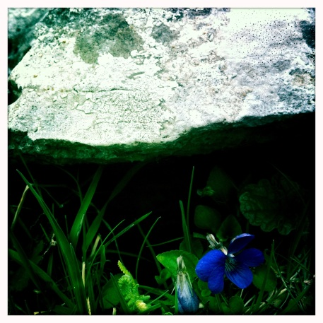 Flower in the karst landscape, Co Clare